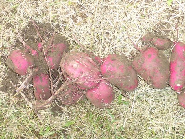 芋掘り縮小3.jpg