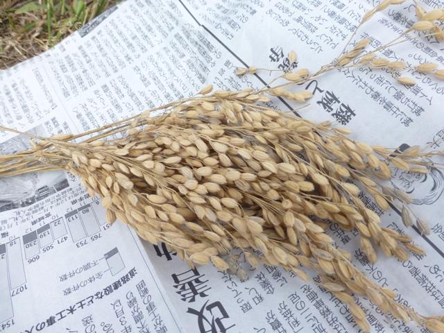 稲刈り7.jpg